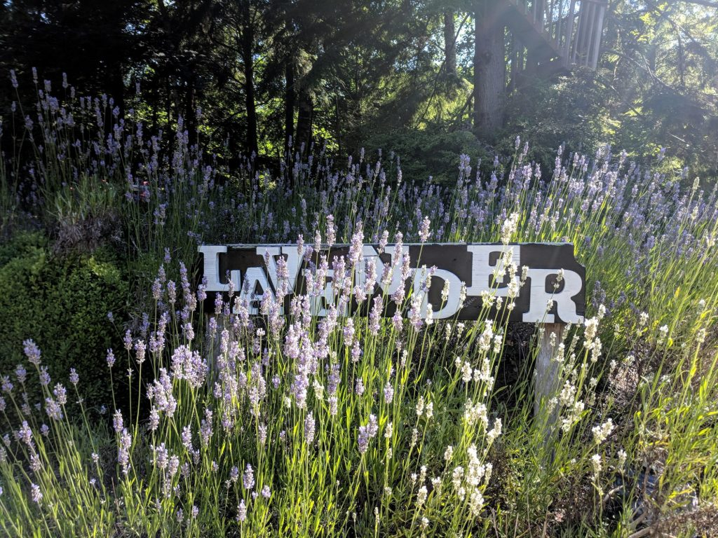 Painted Lady Lavender Farm
