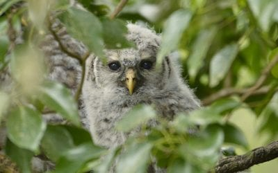 Barred Owlet photo by Jace the Bird Nerd