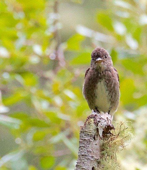 Olive sided flycatcher by Madeline Kalbach
