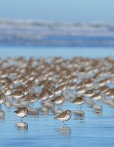 Shorebirds on the Long Beach Peninsula