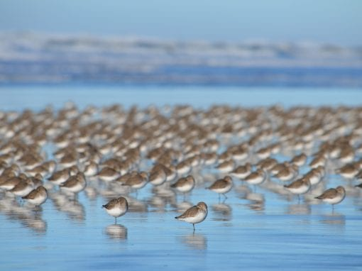 Shorebirds on the Long Beach Peninsula