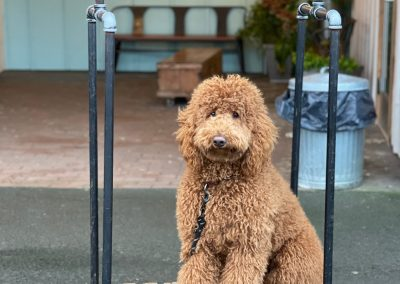 Poodle on baggage cart at the Inn at Discovery Coast