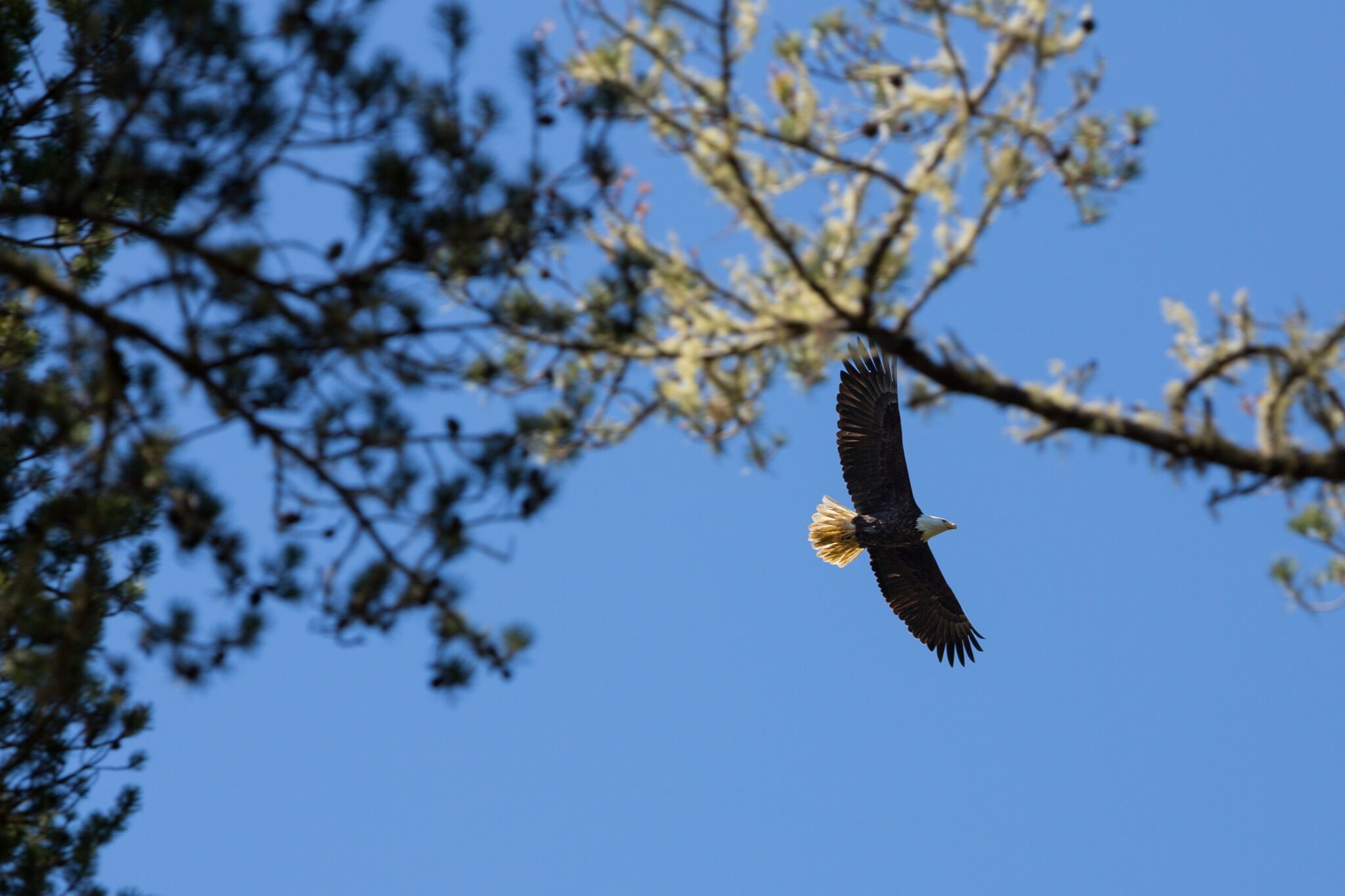 A bald eagle at Leadbetter Point